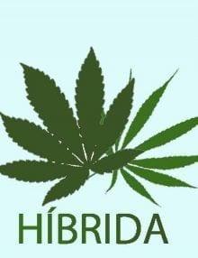 Regulares Híbrida