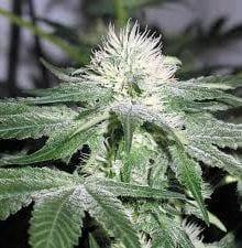 ICE ® de Female Seeds
