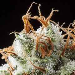 Grizzly Kush