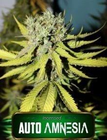 Semillas de marihuana Auto Amnesia Gea Seeds