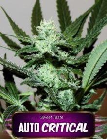 Semillas de marihuana Auto Critical Gea Seeds