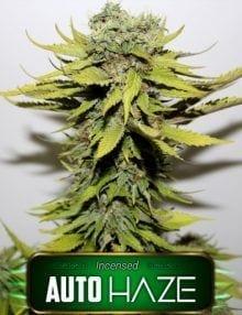 Semillas de marihuana Auto Haze Gea Seeds