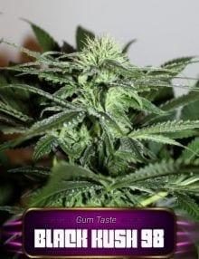 Semillas de marihuana Black Kush 98 Gea Seeds