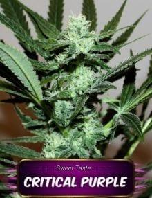 Semillas de marihuana Critical Purple Gea Seeds