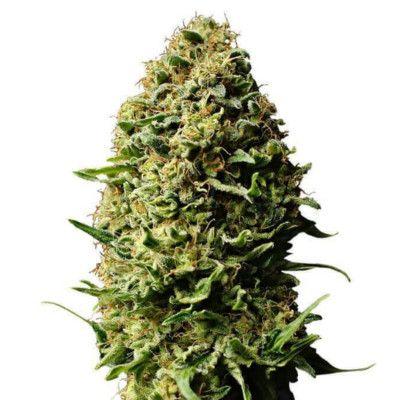 Semillas de marihuana Auto AK de Gea Seeds