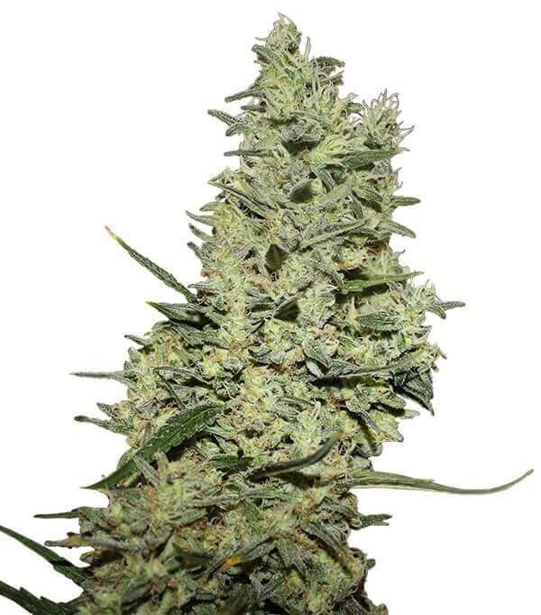Semillas de marihuana Critical ++ de Gea Seeds