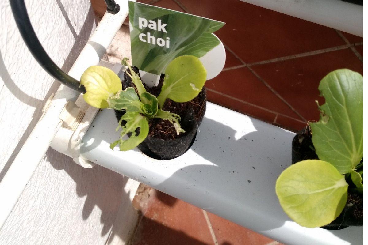 A la visita indeseada le encanta el Pak Choi