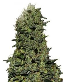 Semillas de marihuana AK de Gea Seeds