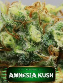 Semillas de marihuana Amnesia Kush de Gea Seeds