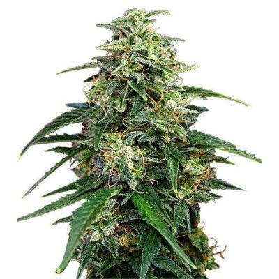 Semillas de marihuana Amnesia de Gea Seeds