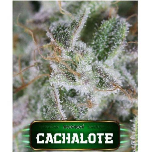 Semillas de marihuana Cachalote de Gea Seeds