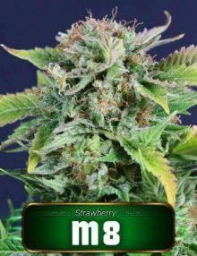 Semillas de marihuana M8 de Gea Seeds
