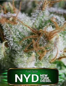 Semillas de marihuana New York Diesel de Gea Seeds