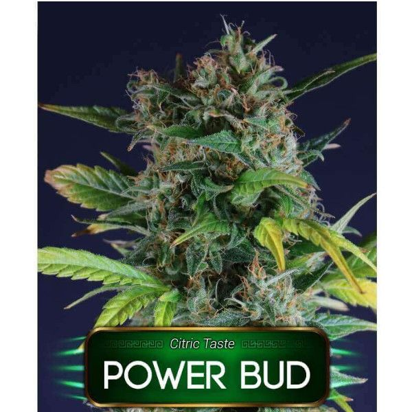 Semillas de marihuana Power Bud de Gea Seeds