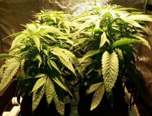 Cultivo indoor con HidroHug F8 – 1ª parte