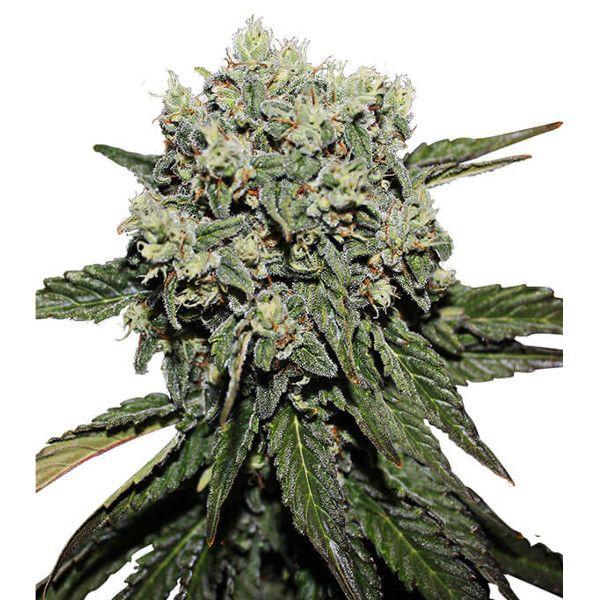 Semillas de marihuana Hard Diesel de Gea Seeds