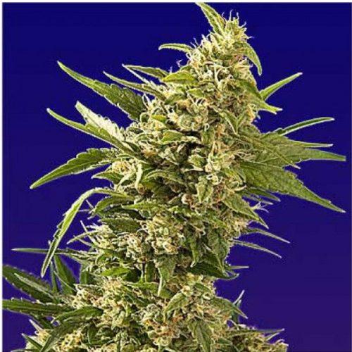 Semillas de marihuana AK Automatic de Spliff Seeds
