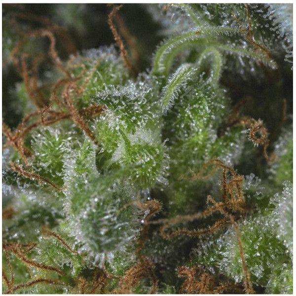 Semillas de marihuana Medicandy de Genofarm