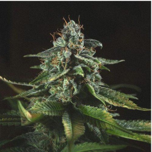 Semillas de marihuana SFVOG de Genofarm