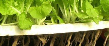 Solución nutritiva en hidroponía