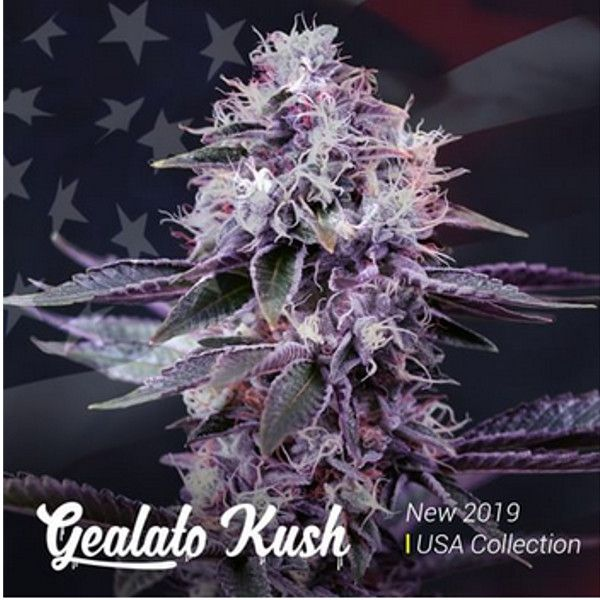 Semillas de marihuana Gealato Kush