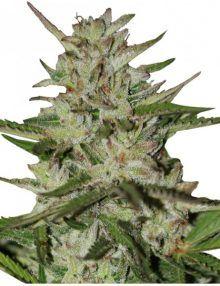 Semillas de marihuana Amnesia Pro - Gea Seeds
