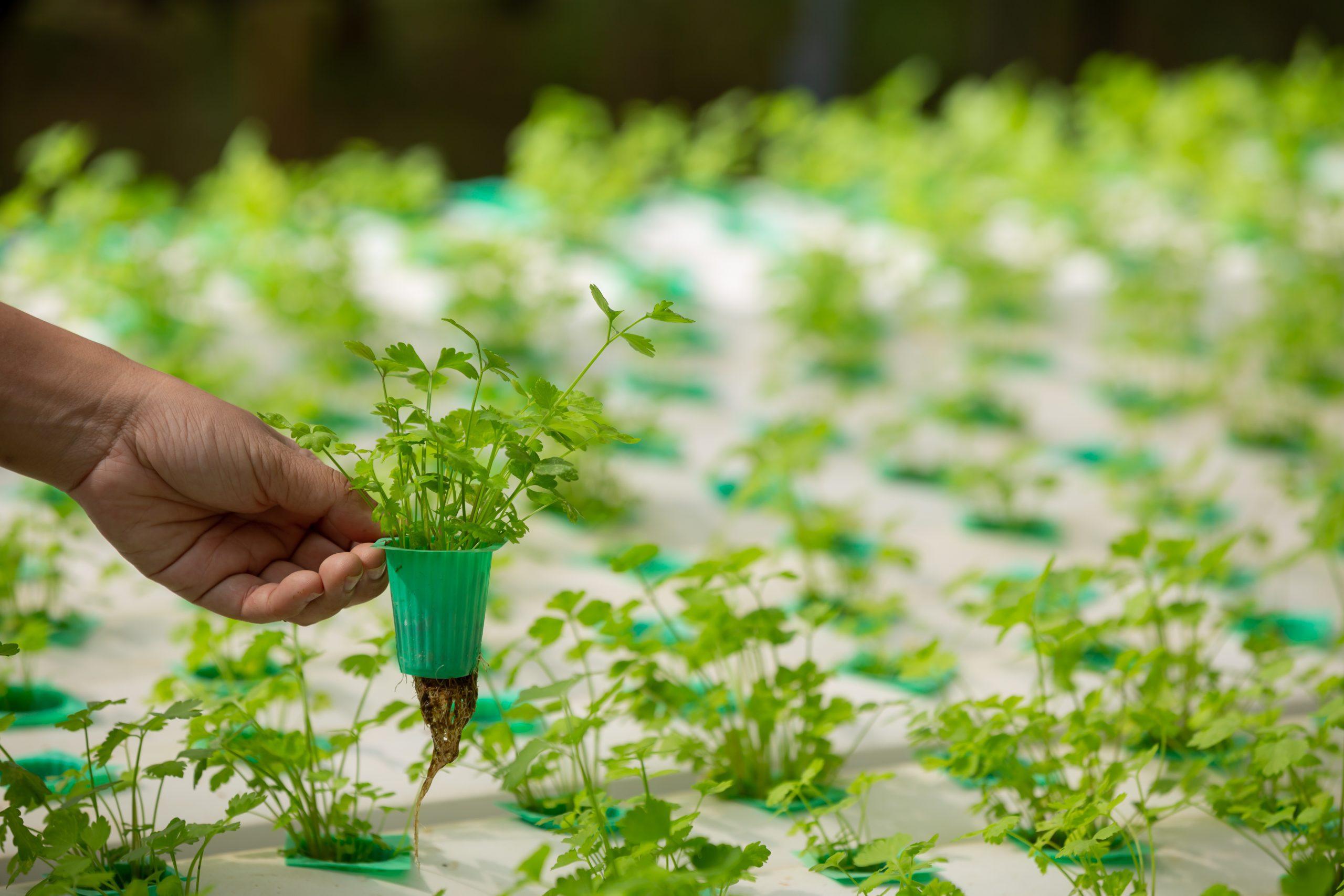 Cultivar en hidroponía